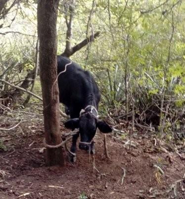 RECUPERAN ANIMALES VACUNOS DENUNCIADOS COMO ROBADOS