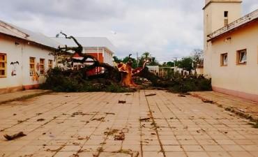 LA TORMENTA DOBLEGO A UNOS DE LOS ARBOLES HISTORICOS DE LA ESCUELA 140
