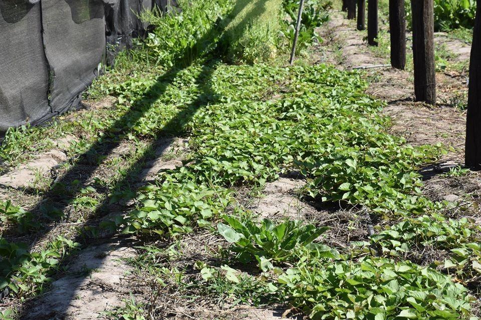 LA AGENCIA DE DESARROLLO LOCAL ENTREGA GRATUITAMENTE 20 MIL PLANTINES ENTRE HOY Y MAÑANA